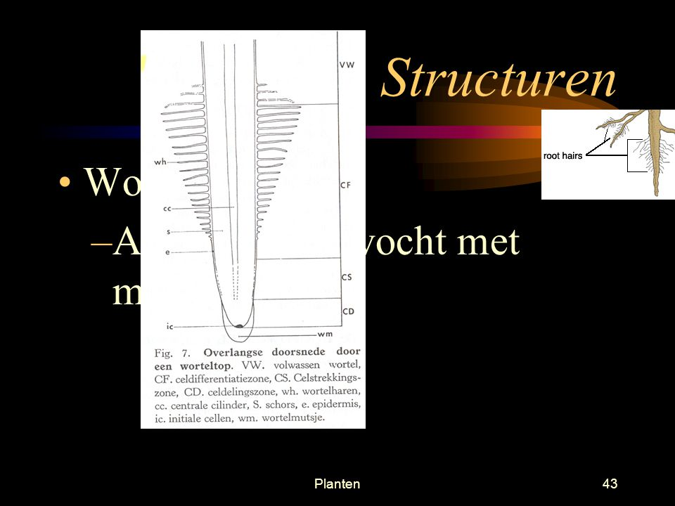 Planten42 Extern –Wortelmuts /top Produceert onophoudelijk nieuwe cellen Beschermt de wortel tijdens groei door de bodem
