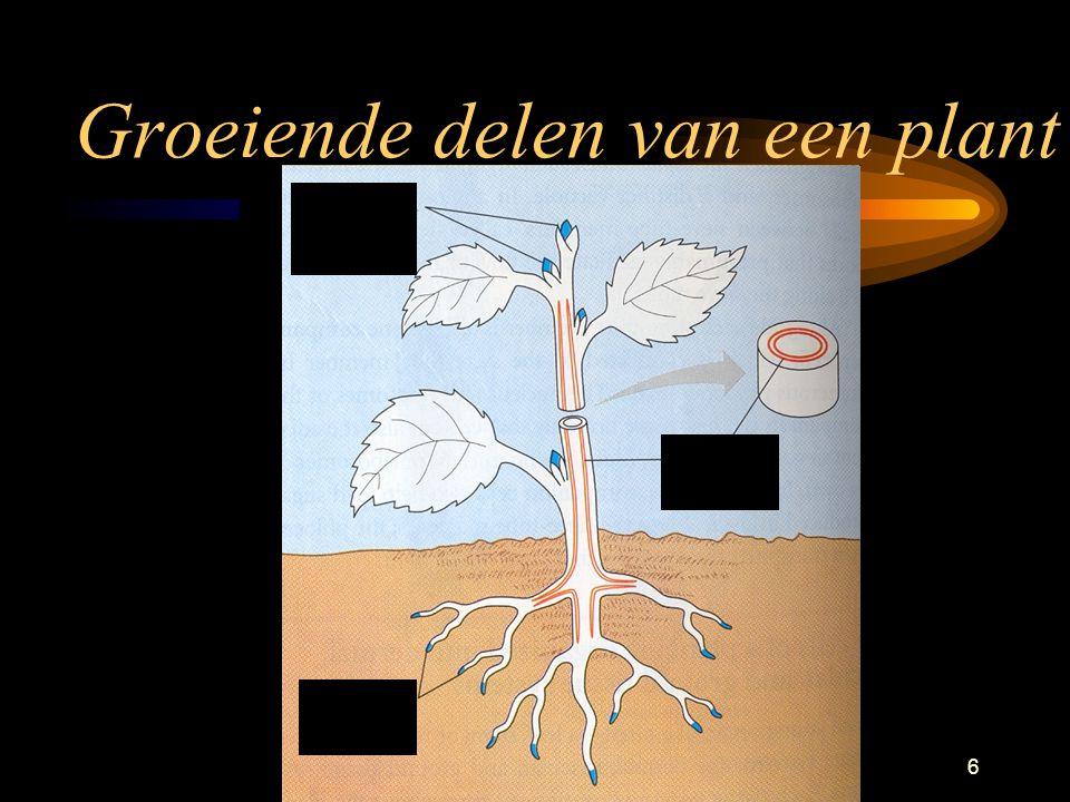 Planten26 Glucose Productie in de bladeren gaat naar de wortel door de stengel –Plant gebruikt het voedsel zelf –Slaat voedsel op als suiker, zetmeel of eiwitten.