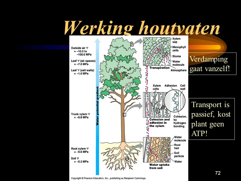 Planten71 Werking houtvaten Transport in de vaten door verdamping, (rietje bovenlangs blazen) en de capillaire werking (niet actief).