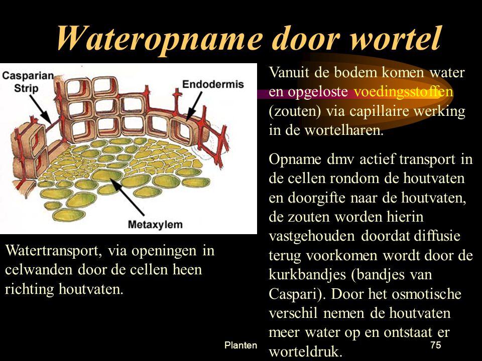 Planten74 Wateropname door wortel De vaten in de jonge wortel liggen in de centrale cilinder de buitenste laag van de cc is de endodermis (endo = binnen) Endodermis bevat de cellen van Caspary, cellen met kurk.