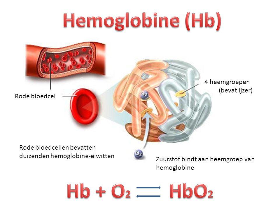 Rode bloedcel 4 heemgroepen (bevat ijzer) Zuurstof bindt aan heemgroep van hemoglobine Rode bloedcellen bevatten duizenden hemoglobine-eiwitten