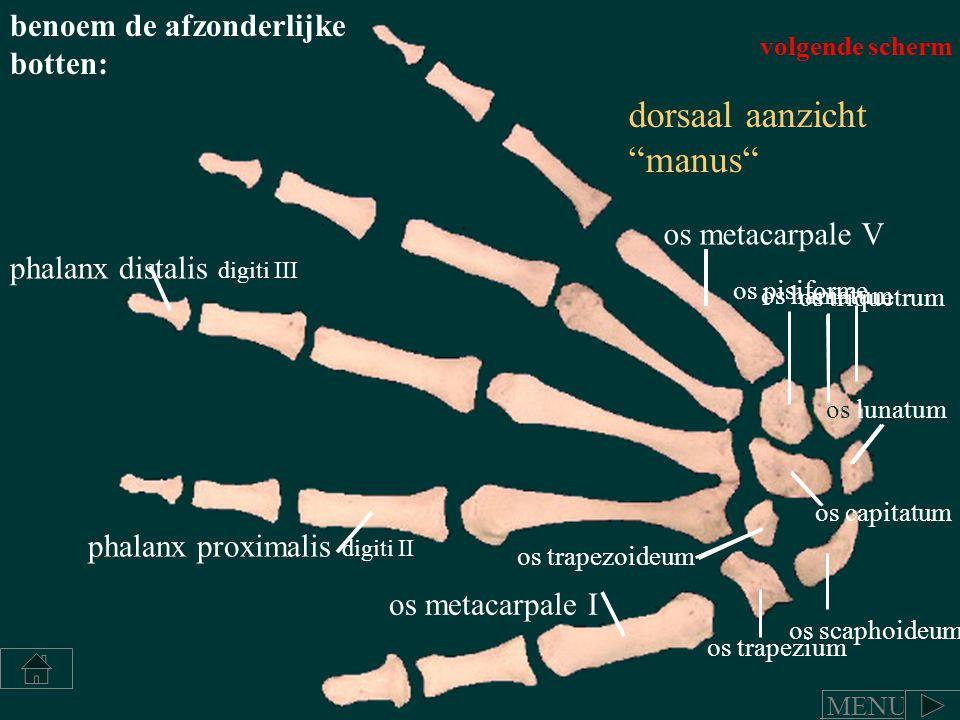 """dorsaal aanzicht """"manus"""" benoem de afzonderlijke botten: phalanx distalis digiti III phalanx proximalis digiti II os metacarpale I os metacarpale V os"""
