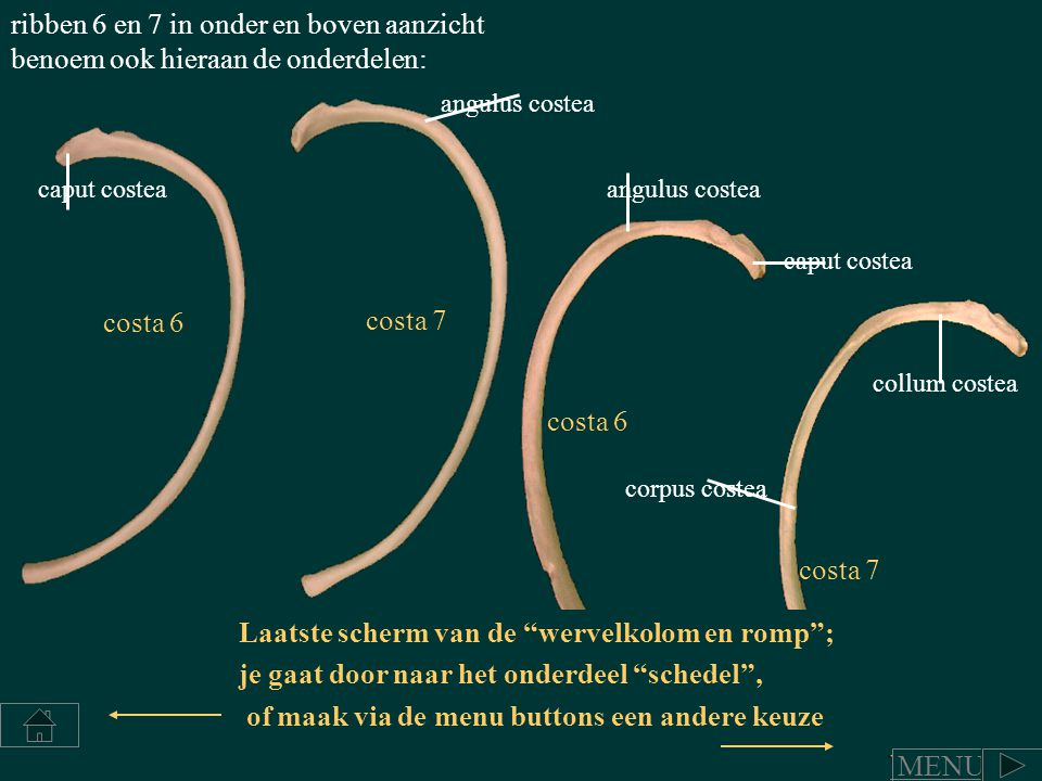 caput costea collum costea angulus costea corpus costea ribben 6 en 7 in onder en boven aanzicht benoem ook hieraan de onderdelen: costa 6 costa 7 cos
