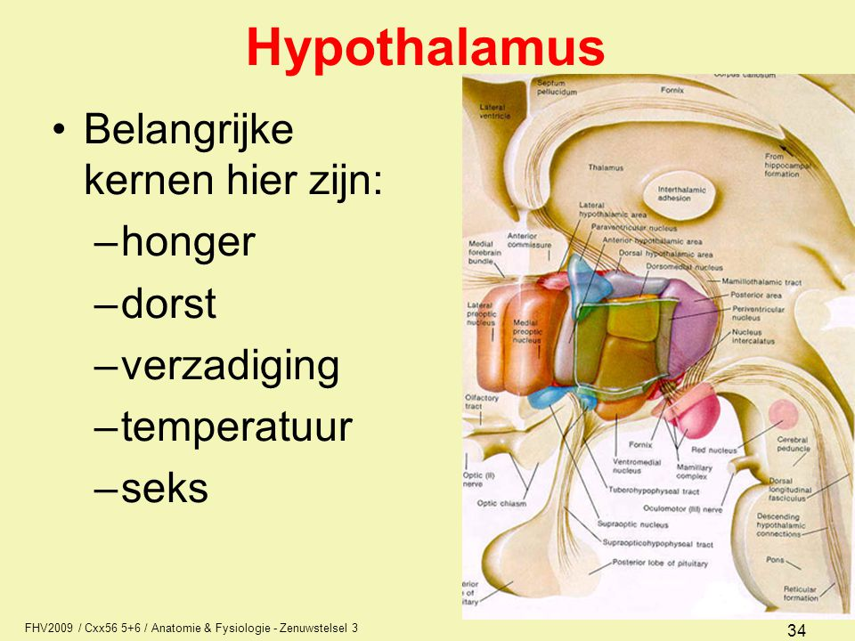 FHV2009 / Cxx56 5+6 / Anatomie & Fysiologie - Zenuwstelsel 3 34 Hypothalamus Belangrijke kernen hier zijn: –honger –dorst –verzadiging –temperatuur –s