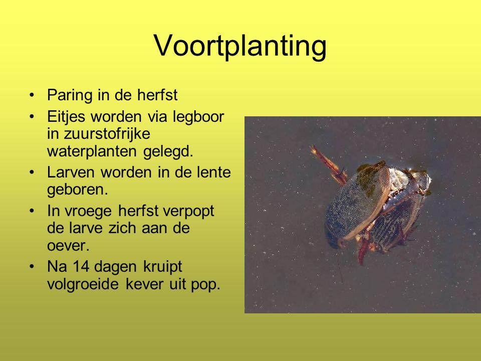 Voortplanting Paring in de herfst Eitjes worden via legboor in zuurstofrijke waterplanten gelegd.