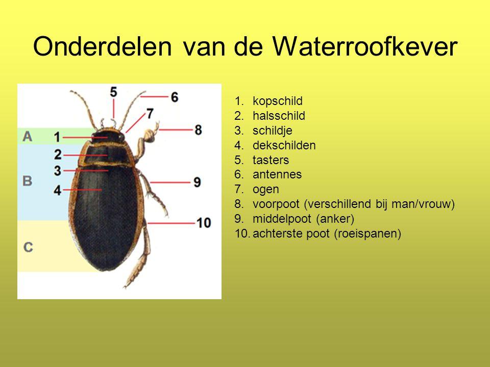 Onderdelen van de Waterroofkever 1.kopschild 2.halsschild 3.schildje 4.dekschilden 5.tasters 6.antennes 7.ogen 8.voorpoot (verschillend bij man/vrouw) 9.middelpoot (anker) 10.achterste poot (roeispanen)