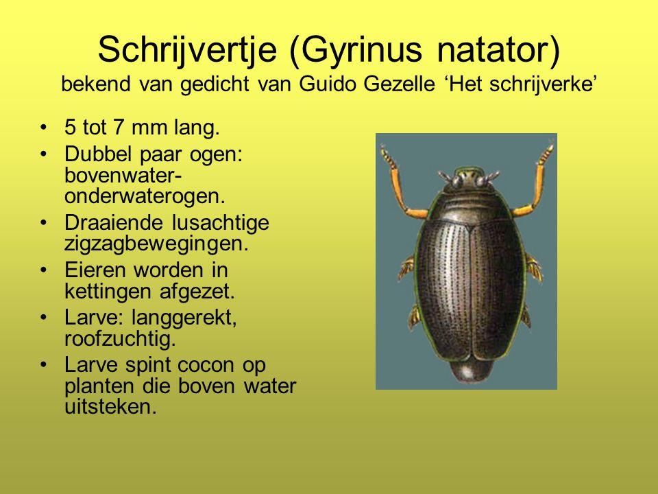Schrijvertje (Gyrinus natator) bekend van gedicht van Guido Gezelle 'Het schrijverke' 5 tot 7 mm lang.