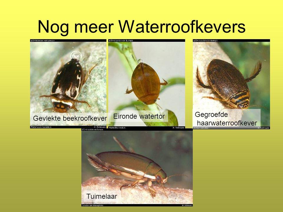 Nog meer Waterroofkevers Tuimelaar Gegroefde haarwaterroofkever Gevlekte beekroofkever Eironde watertor