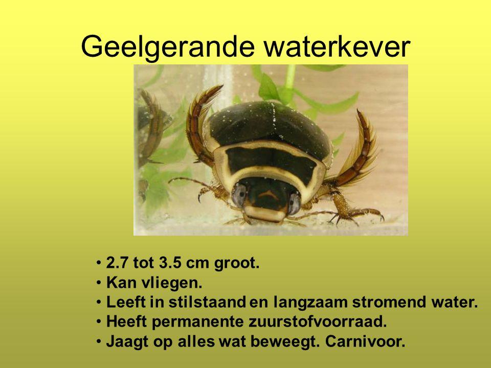 Geelgerande waterkever 2.7 tot 3.5 cm groot.Kan vliegen.