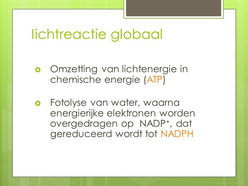 Iichtreactie globaal  Omzetting van lichtenergie in chemische energie (ATP)  Fotolyse van water, waarna energierijke elektronen worden overgedragen