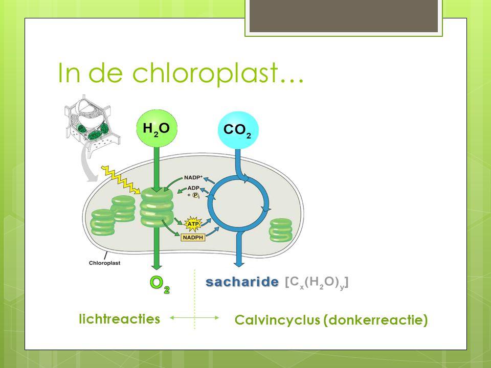 lichtreacties Calvincyclus (donkerreactie) In de chloroplast…