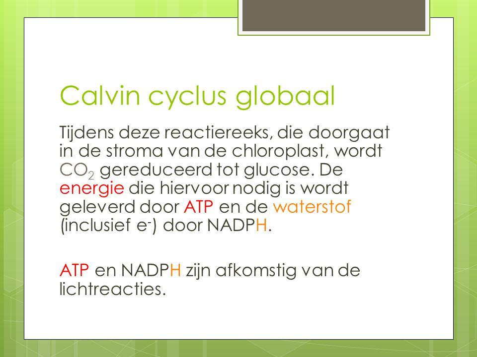 Calvin cyclus globaal Tijdens deze reactiereeks, die doorgaat in de stroma van de chloroplast, wordt CO 2 gereduceerd tot glucose. De energie die hier