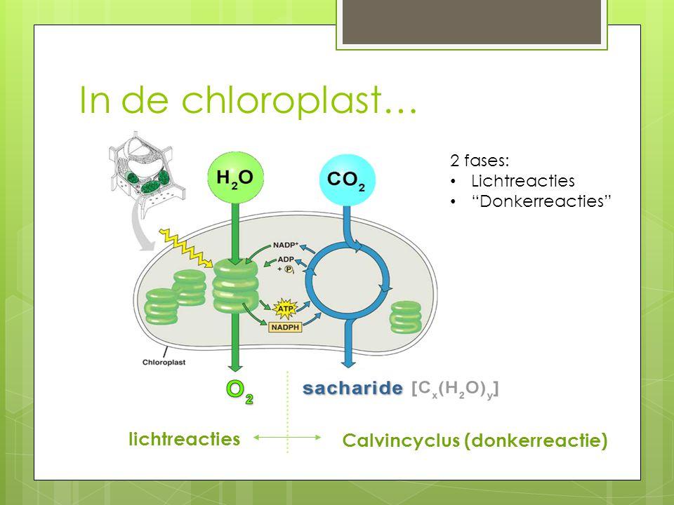"""In de chloroplast… lichtreacties Calvincyclus (donkerreactie) 2 fases: Lichtreacties """"Donkerreacties"""""""