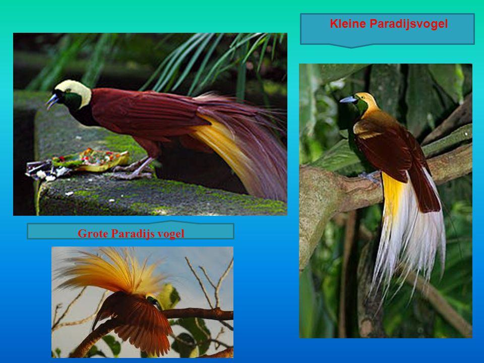 Grote Paradijs vogel Kleine Paradijsvogel