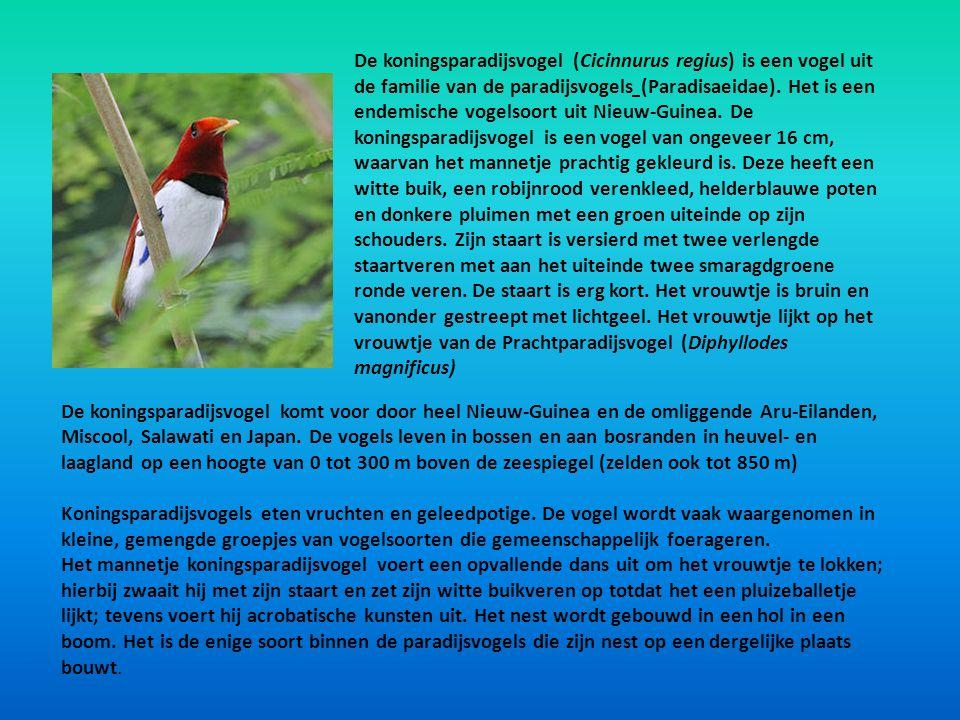 De koningsparadijsvogel (Cicinnurus regius) is een vogel uit de familie van de paradijsvogels (Paradisaeidae). Het is een endemische vogelsoort uit Ni