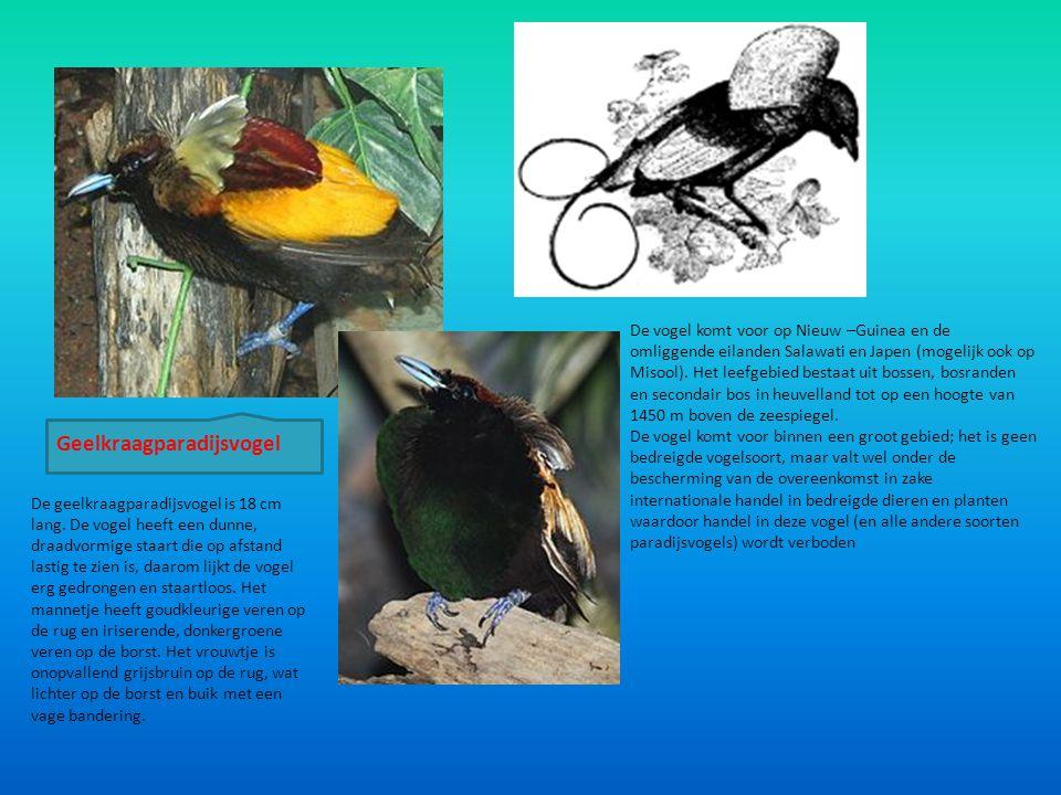 De vogel komt voor op Nieuw –Guinea en de omliggende eilanden Salawati en Japen (mogelijk ook op Misool). Het leefgebied bestaat uit bossen, bosranden