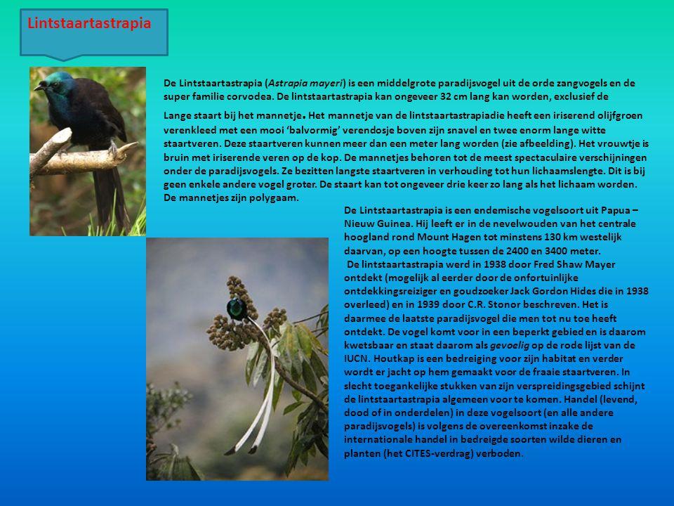 De Lintstaartastrapia (Astrapia mayeri) is een middelgrote paradijsvogel uit de orde zangvogels en de super familie corvodea. De lintstaartastrapia ka