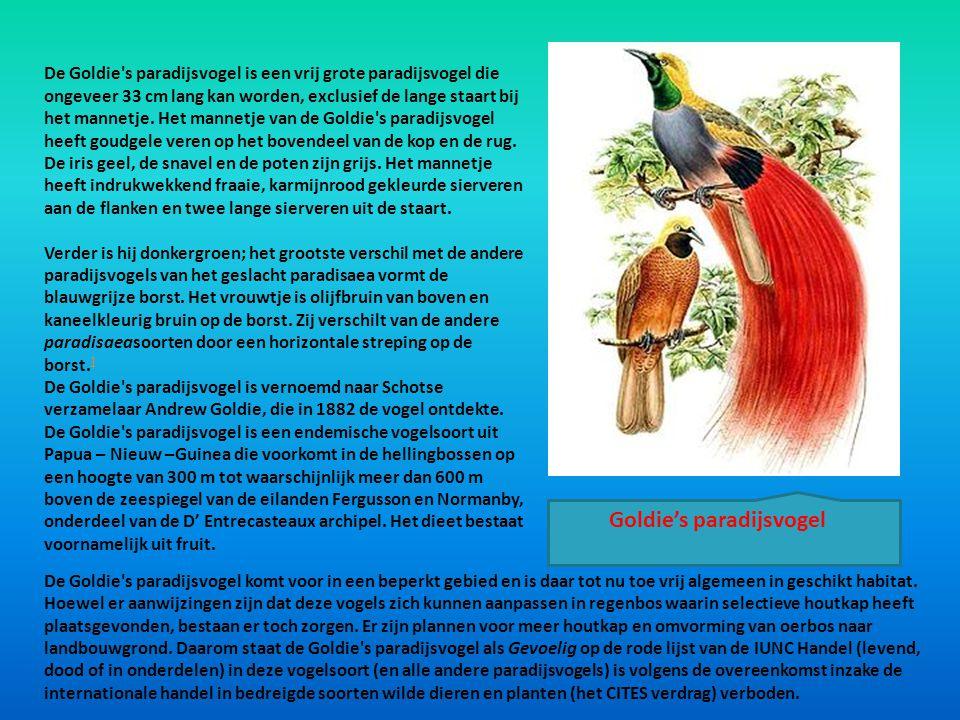 De Goldie's paradijsvogel is een vrij grote paradijsvogel die ongeveer 33 cm lang kan worden, exclusief de lange staart bij het mannetje. Het mannetje
