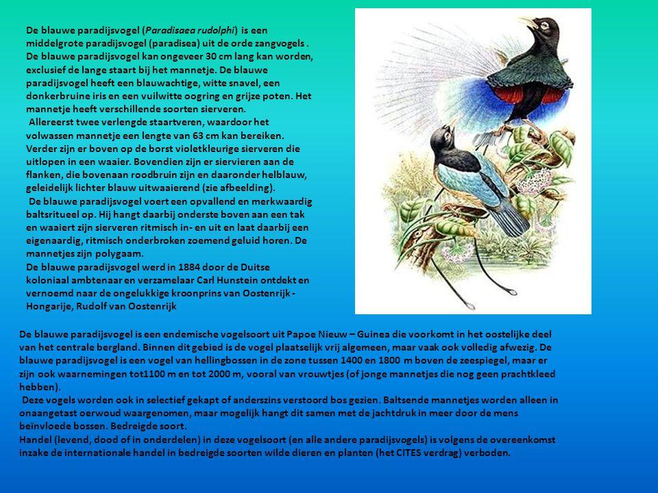De blauwe paradijsvogel (Paradisaea rudolphi) is een middelgrote paradijsvogel (paradisea) uit de orde zangvogels. De blauwe paradijsvogel kan ongevee