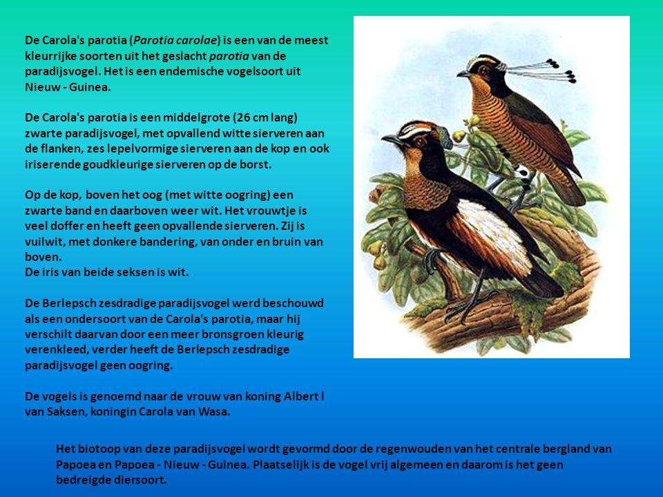 De Carola's parotia (Parotia carolae) is een van de meest kleurrijke soorten uit het geslacht parotia van de paradijsvogel. Het is een endemische voge