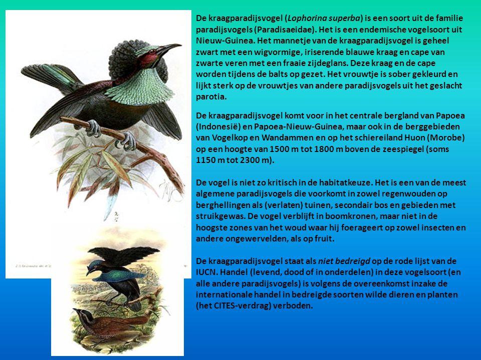 De kraagparadijsvogel (Lophorina superba) is een soort uit de familie paradijsvogels (Paradisaeidae). Het is een endemische vogelsoort uit Nieuw-Guine