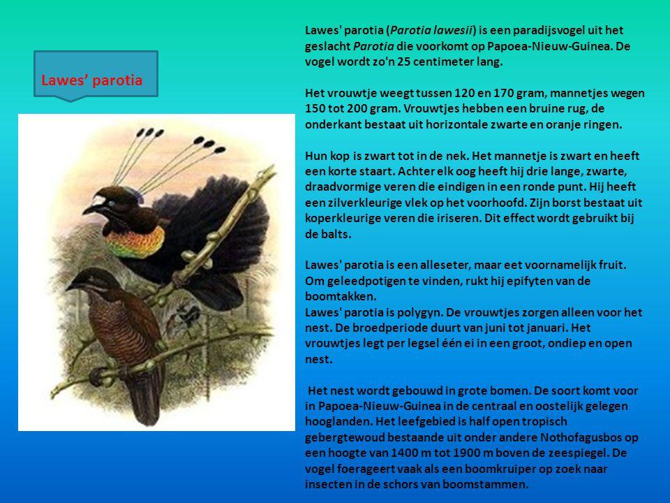 Lawes' parotia (Parotia lawesii) is een paradijsvogel uit het geslacht Parotia die voorkomt op Papoea-Nieuw-Guinea. De vogel wordt zo'n 25 centimeter