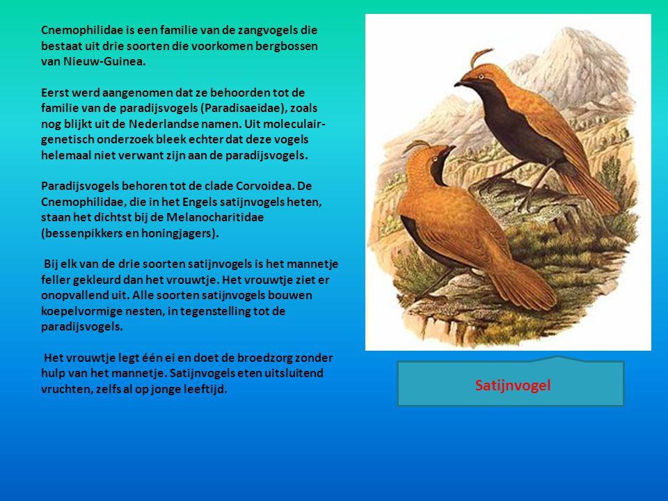 Cnemophilidae is een familie van de zangvogels die bestaat uit drie soorten die voorkomen bergbossen van Nieuw-Guinea. Eerst werd aangenomen dat ze be