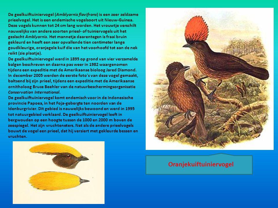 De geelkuiftuiniervogel (Amblyornis flavifrons) is een zeer zeldzame prieelvogel. Het is een endemische vogelsoort uit Nieuw-Guinea. Deze vogels kunne