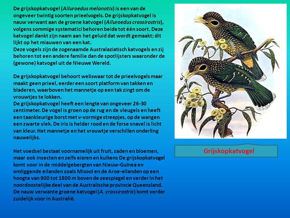 De grijskopkatvogel (Ailuroedus melanotis) is een van de ongeveer twintig soorten prieelvogels. De grijskopkatvogel is nauw verwant aan de groene katv