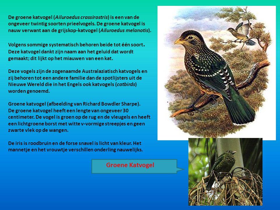 De groene katvogel (Ailuroedus crassirostris) is een van de ongeveer twintig soorten prieelvogels. De groene katvogel is nauw verwant aan de grijskop-