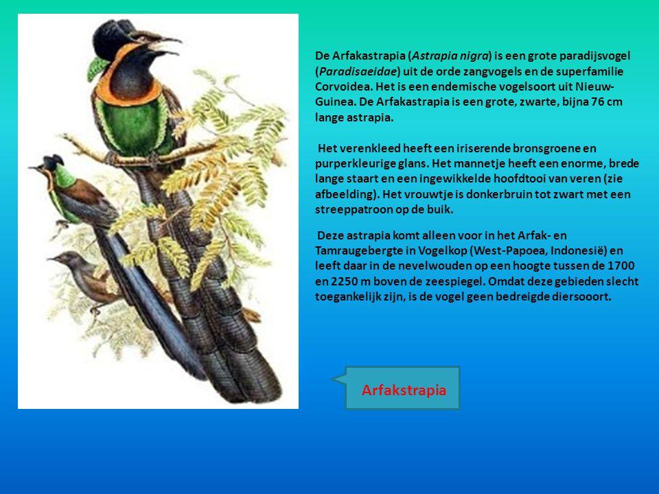 De Arfakastrapia (Astrapia nigra) is een grote paradijsvogel (Paradisaeidae) uit de orde zangvogels en de superfamilie Corvoidea. Het is een endemisch