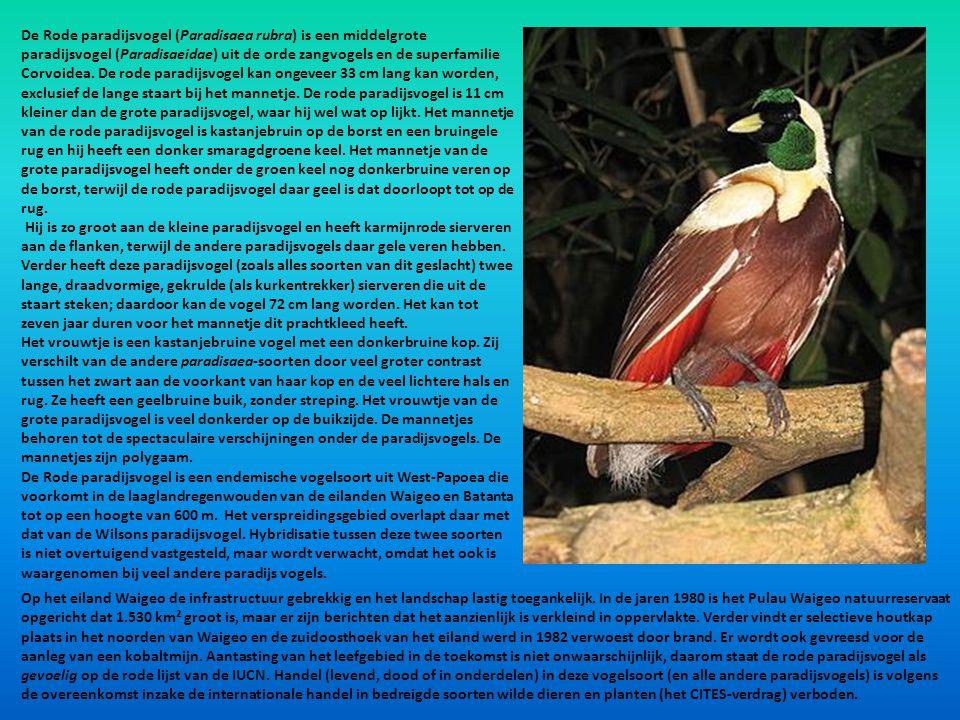 De Rode paradijsvogel (Paradisaea rubra) is een middelgrote paradijsvogel (Paradisaeidae) uit de orde zangvogels en de superfamilie Corvoidea. De rode