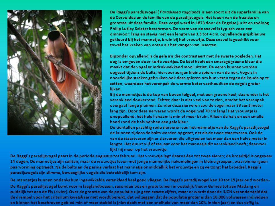 De Raggi's paradijsvogel ( Paradisaea raggiana) is een soort uit de superfamilie van de Corvoidea en de familie van de paradijsvogels. Het is een van