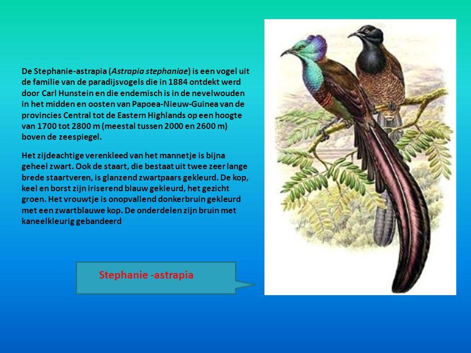 De Stephanie-astrapia (Astrapia stephaniae) is een vogel uit de familie van de paradijsvogels die in 1884 ontdekt werd door Carl Hunstein en die endem