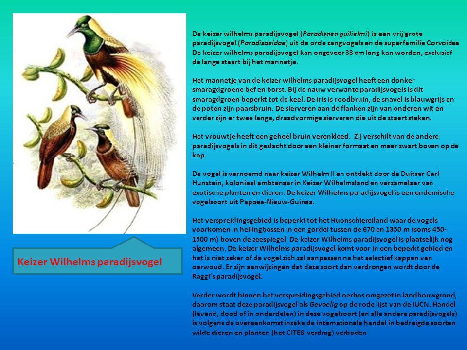 De keizer wilhelms paradijsvogel (Paradisaea guilielmi) is een vrij grote paradijsvogel (Paradisaeidae) uit de orde zangvogels en de superfamilie Corv