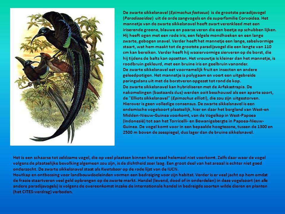 De zwarte sikkelsnavel (Epimachus fastosus) is de grootste paradijsvogel (Paradisaeidae) uit de orde zangvogels en de superfamilie Corvoidea. Het mann