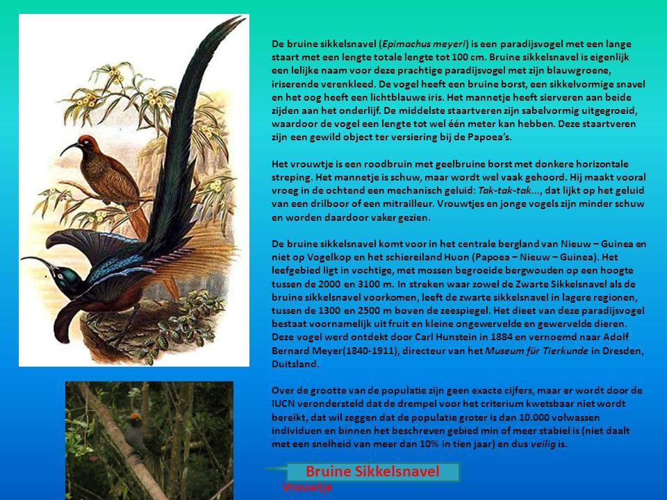 De bruine sikkelsnavel (Epimachus meyeri) is een paradijsvogel met een lange staart met een lengte totale lengte tot 100 cm. Bruine sikkelsnavel is ei
