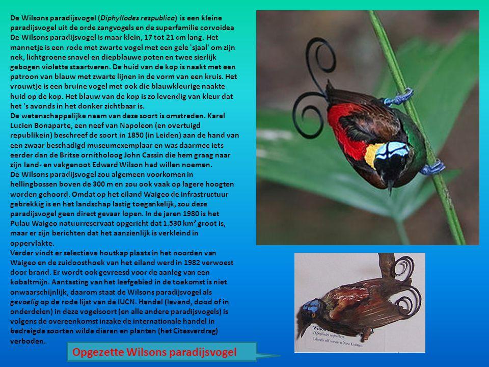 De Wilsons paradijsvogel (Diphyllodes respublica) is een kleine paradijsvogel uit de orde zangvogels en de superfamilie corvoidea De Wilsons paradijsv