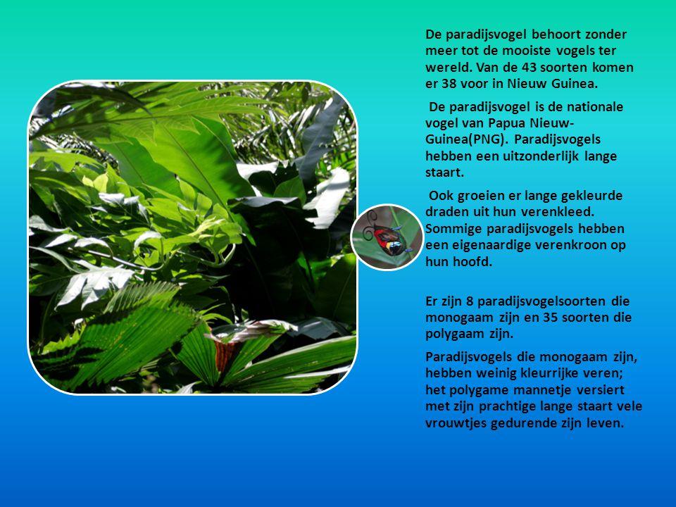 De paradijsvogel behoort zonder meer tot de mooiste vogels ter wereld. Van de 43 soorten komen er 38 voor in Nieuw Guinea. De paradijsvogel is de nati