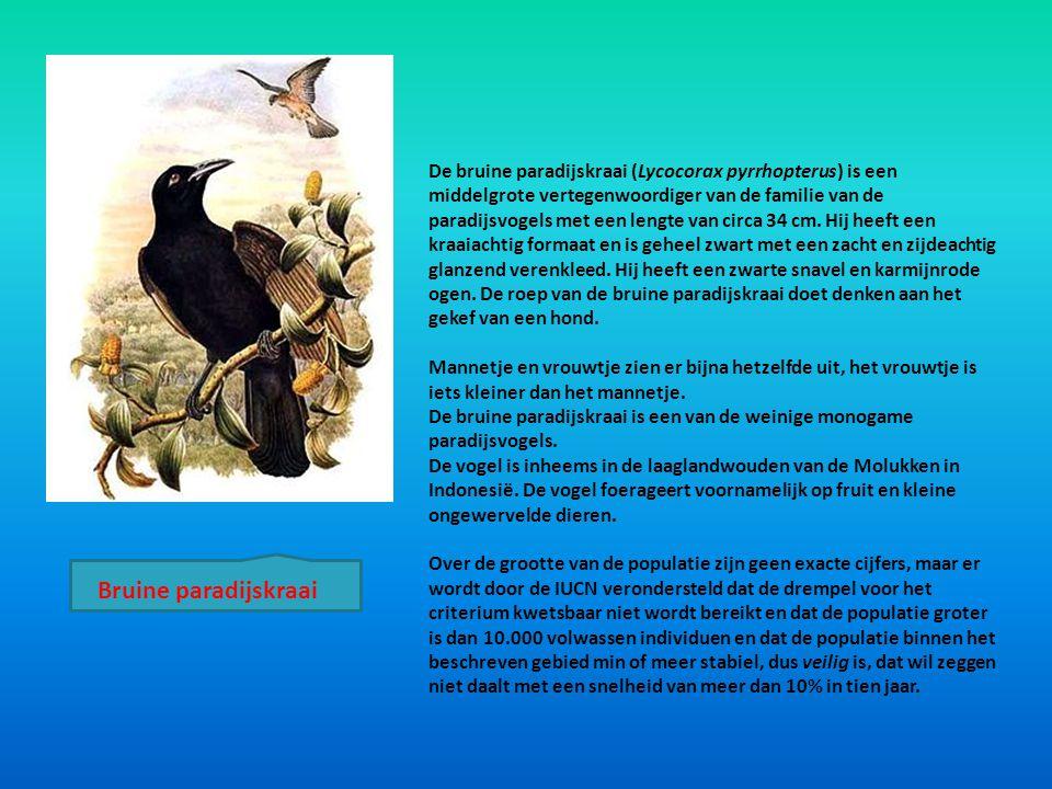 De bruine paradijskraai (Lycocorax pyrrhopterus) is een middelgrote vertegenwoordiger van de familie van de paradijsvogels met een lengte van circa 34