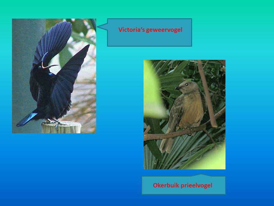 Victoria's geweervogel Okerbuik prieelvogel