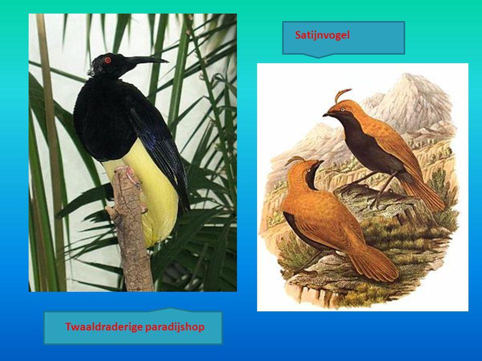 Satijnvogel Twaaldraderige paradijshop