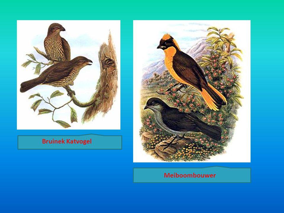 Meiboombouwer Bruinek Katvogel