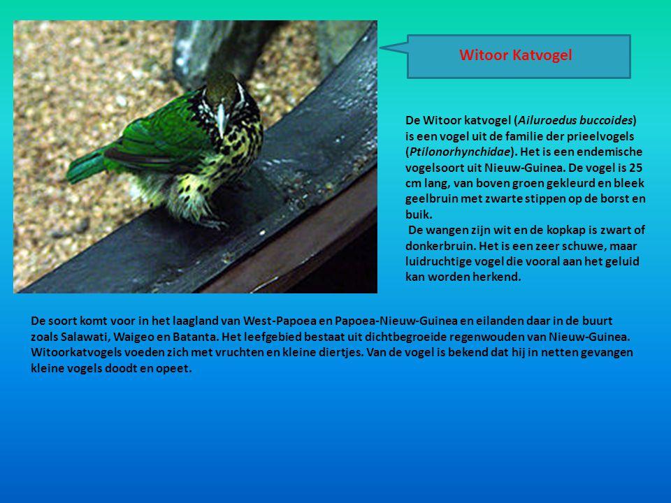 Witoor Katvogel De Witoor katvogel (Ailuroedus buccoides) is een vogel uit de familie der prieelvogels (Ptilonorhynchidae). Het is een endemische voge