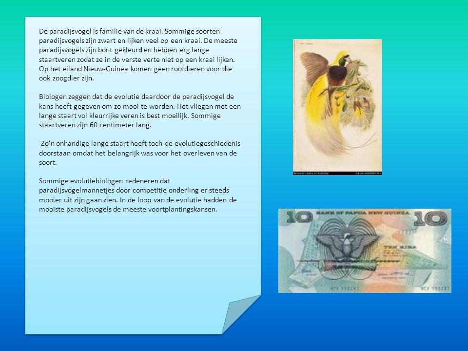 De vogel komt voor op Nieuw –Guinea en de omliggende eilanden Salawati en Japen (mogelijk ook op Misool).