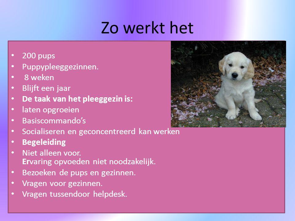 Zo werkt het 200 pups Puppypleeggezinnen. 8 weken Blijft een jaar De taak van het pleeggezin is: laten opgroeien Basiscommando's Socialiseren en gecon