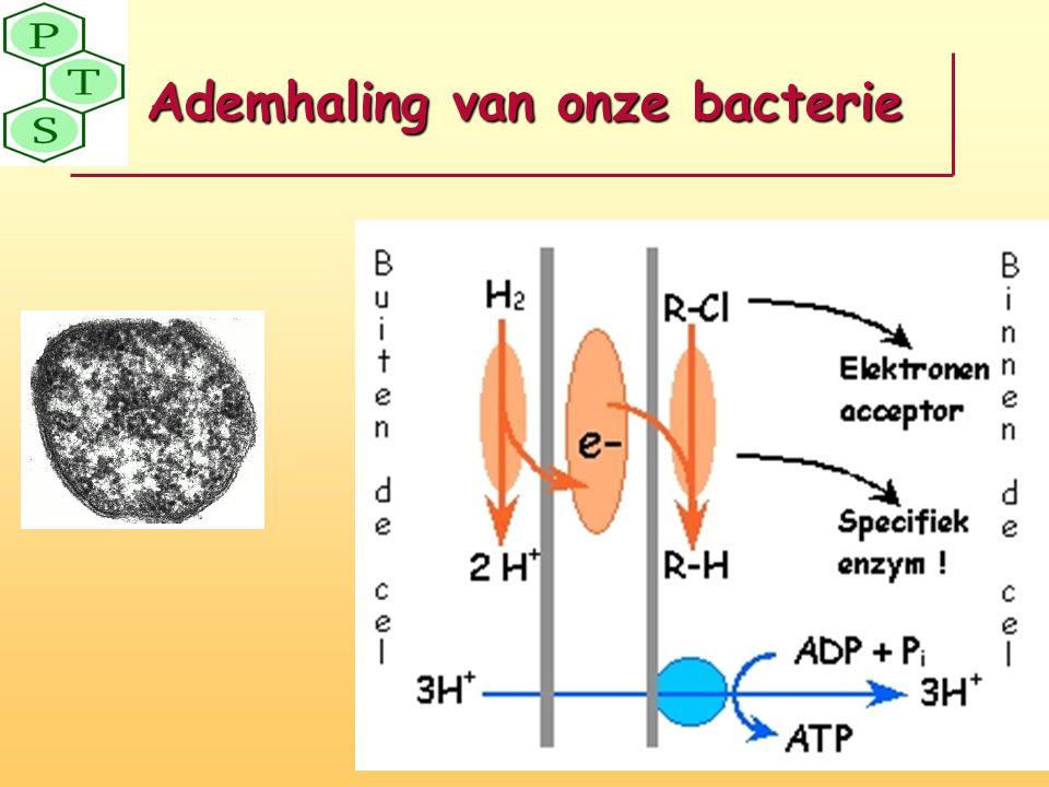 Ademhaling van onze bacterie