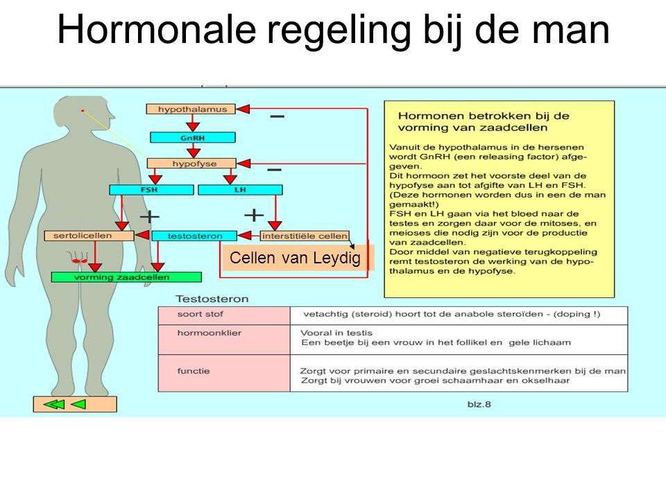 Hormonale regeling bij de man Cellen van Leydig