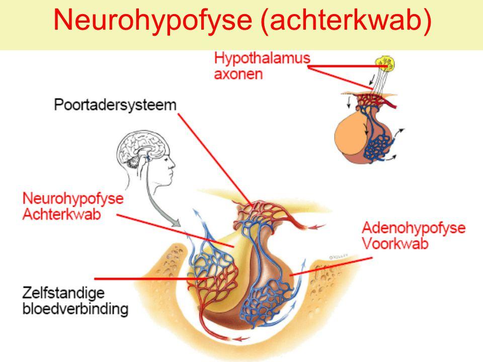 FHV2009 / Cxx55 9+10 / Anatomie & Fysiologie - Hormoonstelsel 1 25 Neurohypofyse (achterkwab)