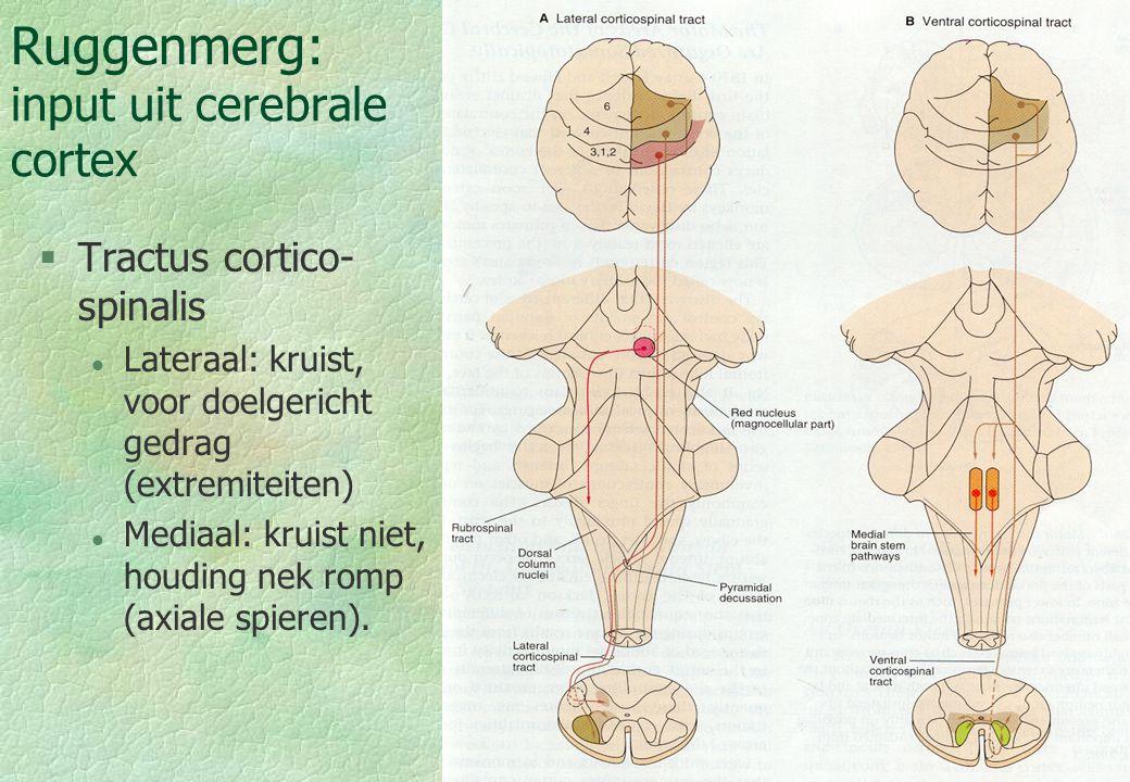 18-09-0018 Ruggenmerg: input uit cerebrale cortex §Tractus cortico- spinalis l Lateraal: kruist, voor doelgericht gedrag (extremiteiten) l Mediaal: kr